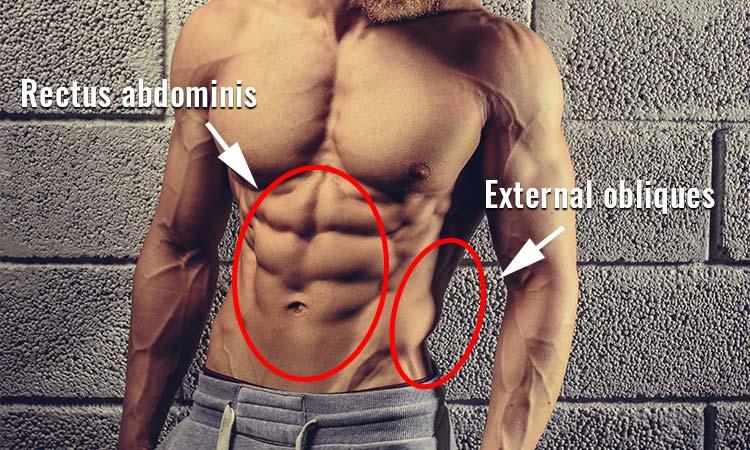 rectus-abdominis-external-obliques